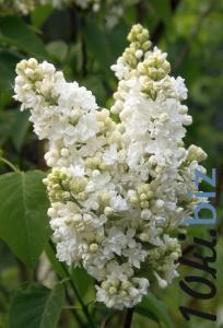 Mme Lemoine Садовые растения в России