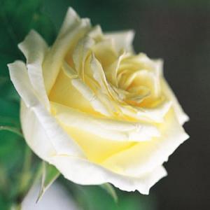 Фото Розы Селекции David Austin Paul's Lemon Pillar