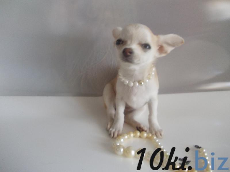 Продам щенка чихуахуа с ветпаспортом и прививками. Смлтрите видео