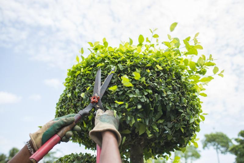Обрезка деревьев, кустарников, хвойных и винограда