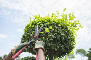 Фото Мои услуги Обрезка садовых деревьев