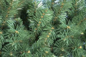 Фото Уличные стволовые елки от 3 до 12м Ель стволовая