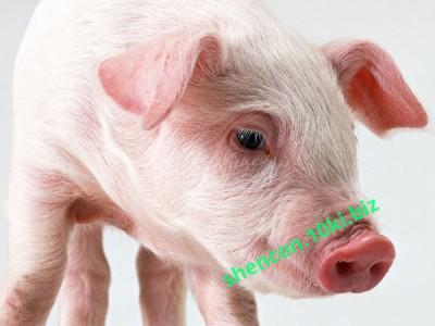 Фото КОМБИКОРМ - ШЕНКОН, Престартери для свиней Комбикорм предстартер для поросят (СП 18%)