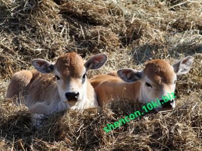 Фото КОМБИКОРМ - ШЕНКОН, Комбикорм стартер для телят Комбикорм предстартер для телят 0-2 мес (СП 21%)