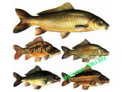 Фото КОМБИКОРМ - ШЕНКОН, Комбикорм для рыб Комбикорм для промысловой рыбы