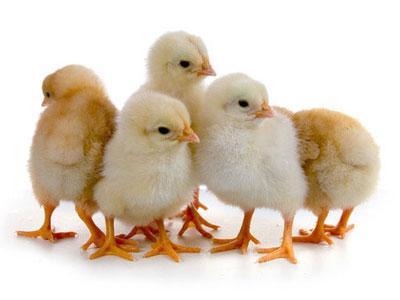Комбикорм старт молодняк яичных кур 0-8 недель (СП 19%)