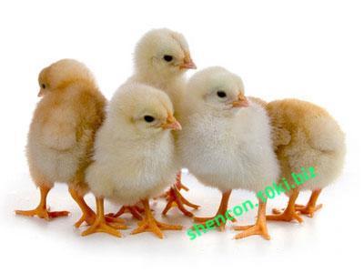 Фото Комбикорма, Комбикорма для птицы Комбикорм старт молодняк яичных кур 0-8 недель (СП 19%)