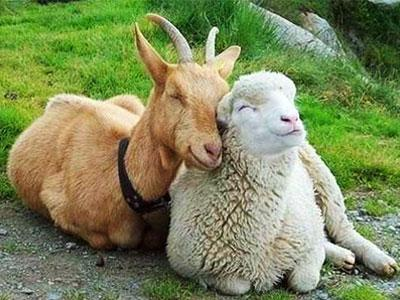 Премикс ШенМикс SC 2,5% овцы, козы
