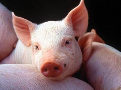 "БВМД ""ШенПиг Гровер СТАНДАРТ"" 15% (откорм свиней от 35 до 70 кг)"