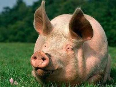 "БВМД ""ШенПиг Гров GP"" 15% (откорм свиней от 35 до 70 кг)"