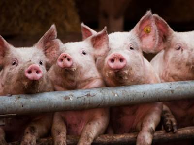 "БВМД ""ШенПиг Фин GP"" 10% (откорм свиней от 70 до 120 кг)"
