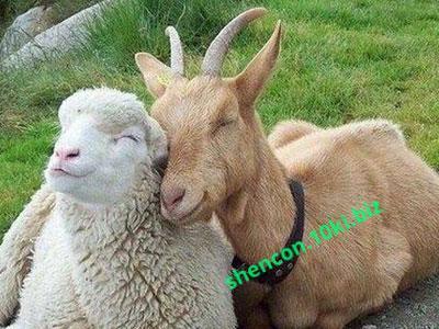 Фото БВМД - ШЕНКОН, БВМД для овец и коз БМВД