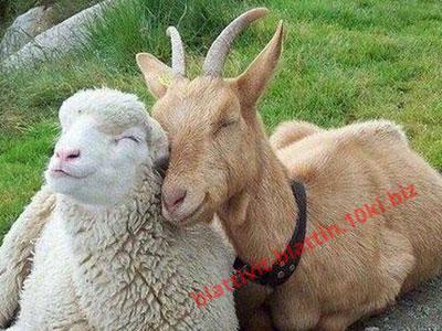 Фото БВМД БМВД «Шени шипы» 10% овцы, козы