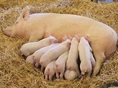 БВМД для свиноматок