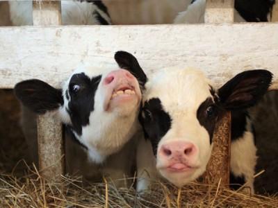 Комбикорм стартер для телят 2-6 мес