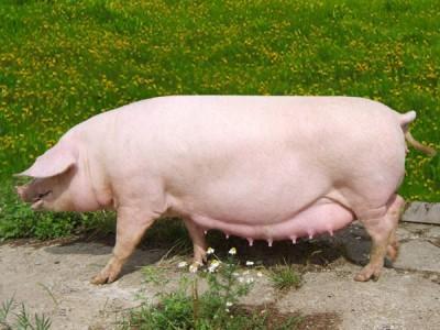 Премикс для свиноматок