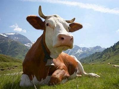 Премикс «Шенмикс Ков Милк» дойные коровы