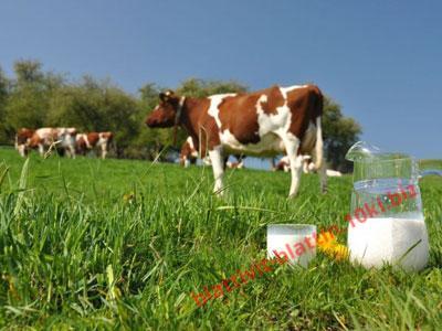 Фото ЗЦМ - СУХОЕ МОЛОКО ЗЦМ «Теленок.PREMIUM» Сухое Молоко для телят, поросят