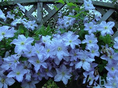 Клематис Blekitny Aniol(Blue Angel) , контейнер Р9 купить в Чернигове - Саженцы декоративных деревьев и кустарников