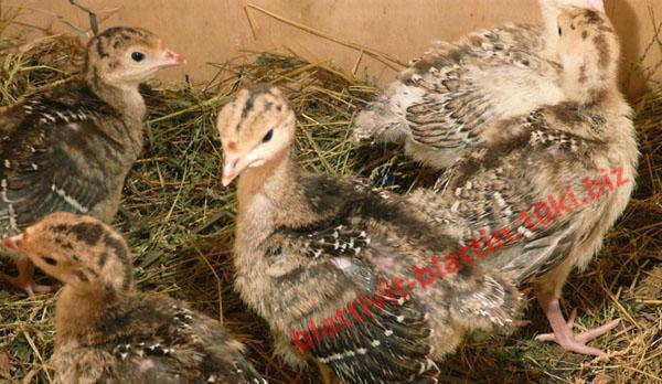 Фото КРАМАР - для Свиней Скота Птицы Кролей, Для Птиц, Для Индюков ПК 11-1 Старт для Индюков 1 - 60 дней
