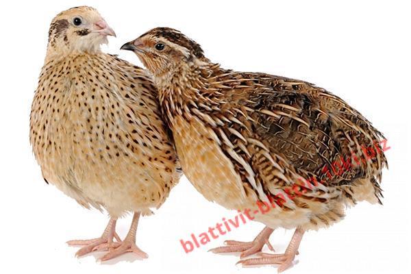 Фото КРАМАР - для Свиней Скота Птицы Кролей, Для Птиц, Для Перепелов, Комбикорм для перепелов ДК 51 Перепелки старше 5 недель