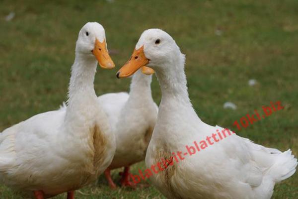 Фото КРАМАР - для Свиней Скота Птицы Кролей, Для Птиц, Для Гусей и Уток ПК 24 Финиш Утка и Гусь