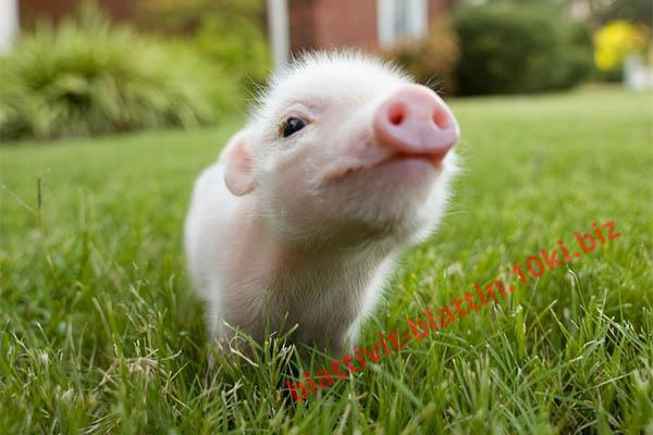 Фото КРАМАР - для Свиней Скота Птицы Кролей, Для Свиней, Комбикорм для Свиней СК 11 Предстарт Поросята  5 - 39 дней