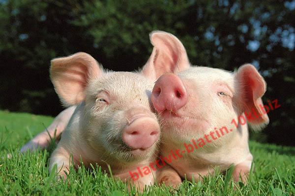 Фото КРАМАР - для Свиней Скота Птицы Кролей, Для Свиней, Комбикорм для Свиней СК-16 Старт Поросята 40 - 60 дней