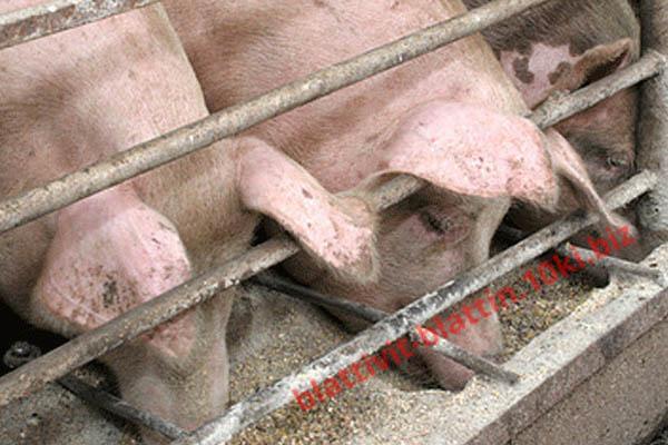 Фото КРАМАР - для Свиней Скота Птицы Кролей, Для Свиней, Комбикорм для Свиней СК-26 Финиш Поросята 101 - 135 дней