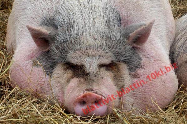 Фото КРАМАР - для Свиней Скота Птицы Кролей, Для Свиней, Комбикорм для Свиней СК-31 Финиш Поросята 101 - 180 дней
