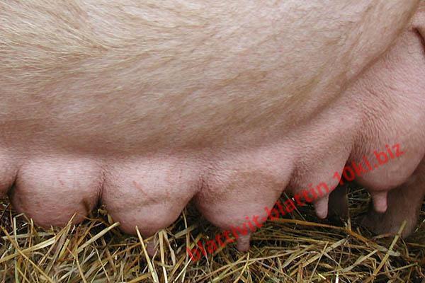 Фото КРАМАР - для Свиней Скота Птицы Кролей, Для Свиней, Комбикорм для Свиней СК 10 Лактирующие свиноматки
