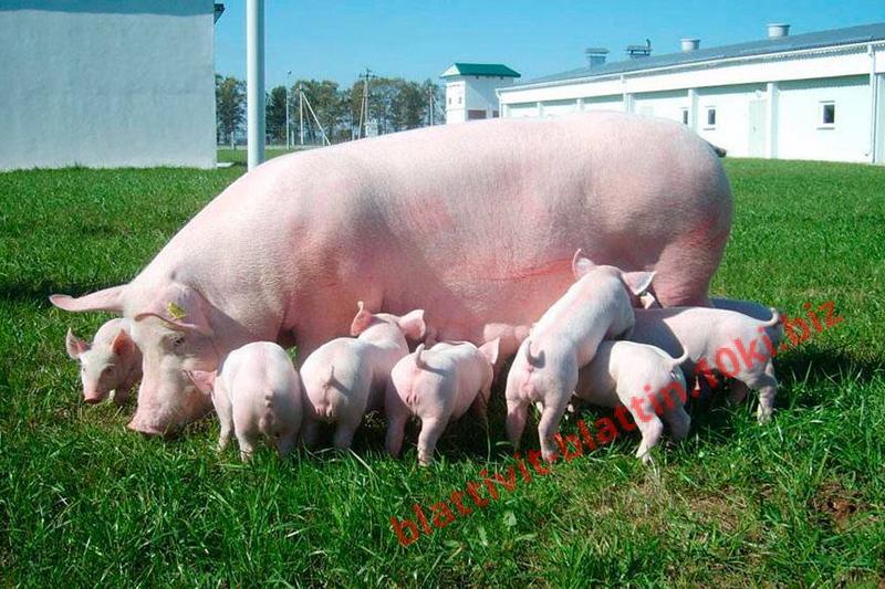 Фото КРАМАР - для Свиней Скота Птицы Кролей, Для Свиней, БМВД для Свиней (белково-витаминно-минеральные добавки) СК-10 БМВД (20%)  супоросные и лактирующие свиноматки