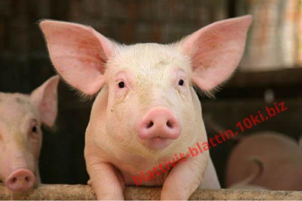 Фото КРАМАР - для Свиней Скота Птицы Кролей, Для Свиней, БМВД для Свиней (белково-витаминно-минеральные добавки) СК-16 БМВД (25%) Старт Поросята 40 - 60 дней