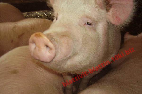 Фото КРАМАР - для Свиней Скота Птицы Кролей, Для Свиней, БМВД для Свиней (белково-витаминно-минеральные добавки) СК-3 БМВД (10%) Для холостых и супоросных свиноматок
