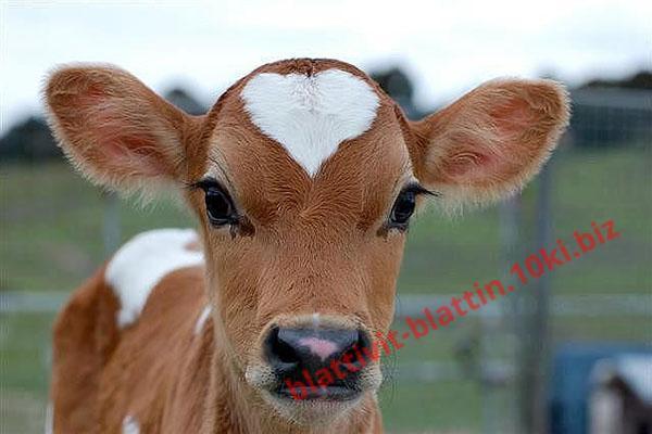 Фото КРАМАР - для Свиней Скота Птицы Кролей, Для крупного рогатого скота КРК-1 Для телят 10 - 75 дней