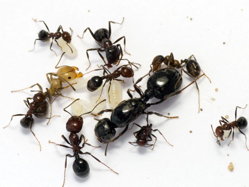 Колония Муравьев Мессор структор - Messor structor - степной муравей-жнец