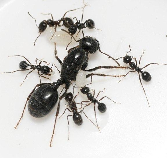 Фото Муравьи Колония Муравьев Мессор структор Messor structor - степной муравей-жнец