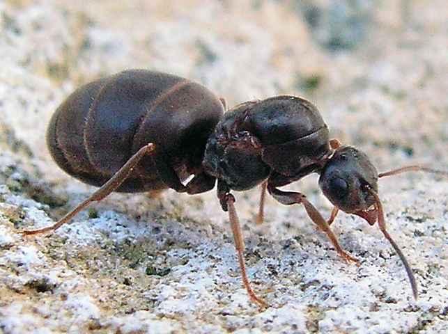 Фото Муравьи Черные садовые муравьи - Lasius Niger (Лазиус Нигер)