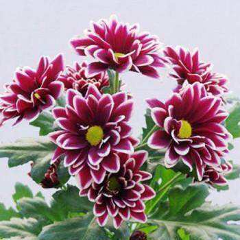 Хризантема Вискоза Violet саженец