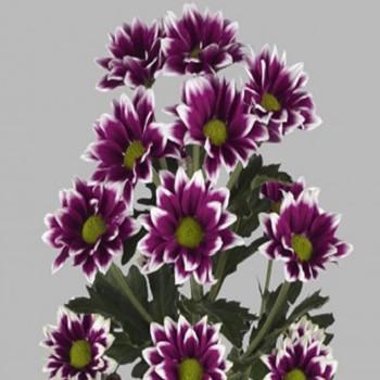 Хризантема Ориноко Violet саженец