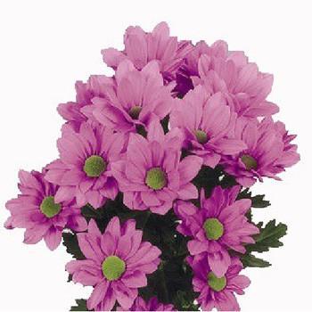 Хризантема Бакарди Pink саженец