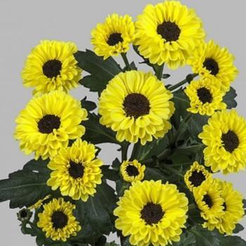 Хризантема Тедча Yellow-Black саженец
