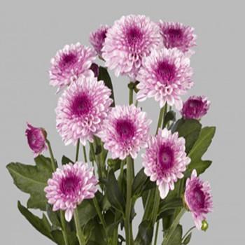 Хризантема Лолипоп Pink саженец