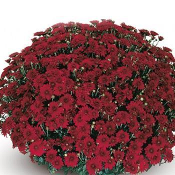 Хризантема Камина Red саженец