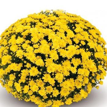 Хризантема Конако Yellow саженец