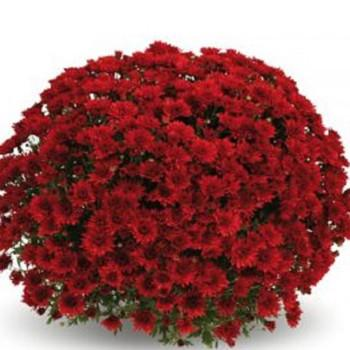 Хризантема Терана Red саженец