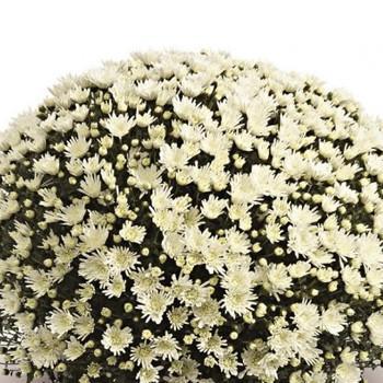 Хризантема Изольда White саженец