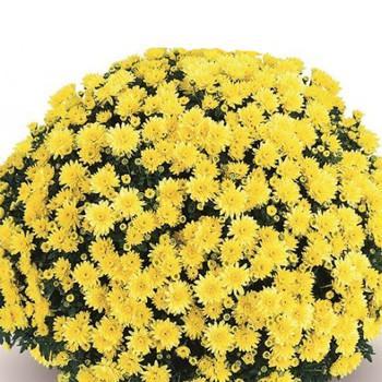 Хризантема Терана Yellow рассада