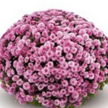 Хризантема Бореаль Pink саженец