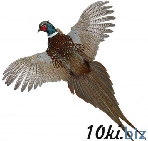 Чучело фазана Чучела для охоты в Украине